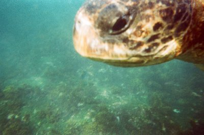 Green Pacific Turtle. Snorkelling in the Galapagos Islands
