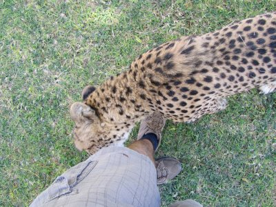 Getting licked by a cheetah!