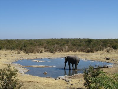 The elephant at the campground water hole in Etosha