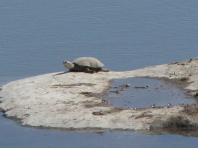 Turtle at the campground water hole in Etosha