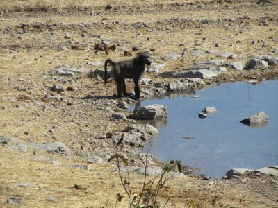 Baboob appears at the water hole in Etosha campground