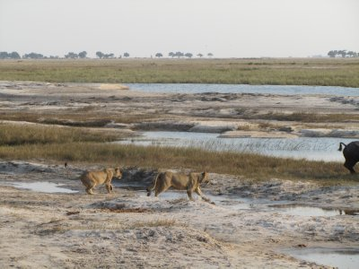Lions give chase, Chobe National Park