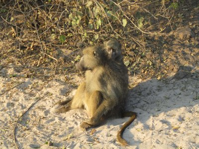 Baboons in Chobe National Park