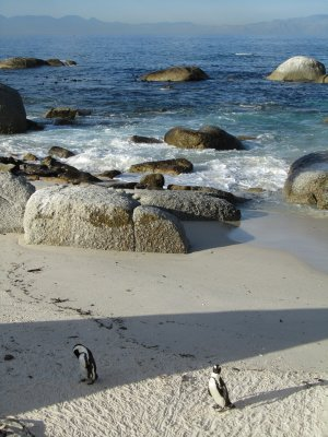 African Penguins near Simon's Town, Cape Town