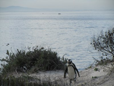 African Penguin near Simon's Town, Cape Town