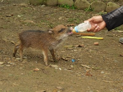 Feeding a wild piglet. Manu National Park, The Amazon Rainforest.