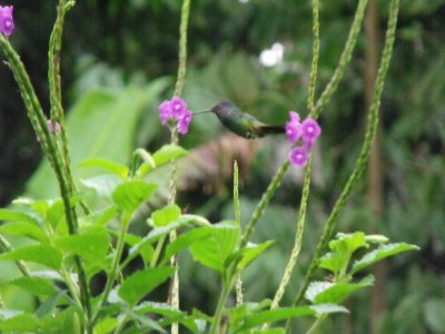 Humming Bird in action. Manu National Park, The Amazon Rainforest.