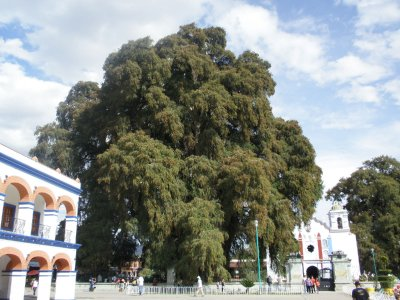 The biggest tree in the world (allegedly), El Tule