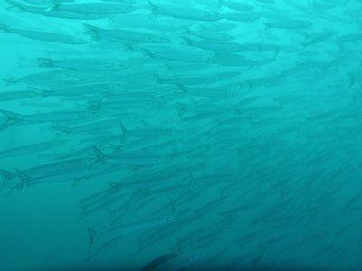Barracuda. Diving off Gordon Rocks in the Galapagos Islands