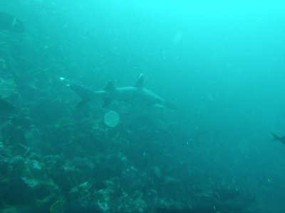 White Tipped Reef Shark. Diving off Gordon Rocks in the Galapagos Islands