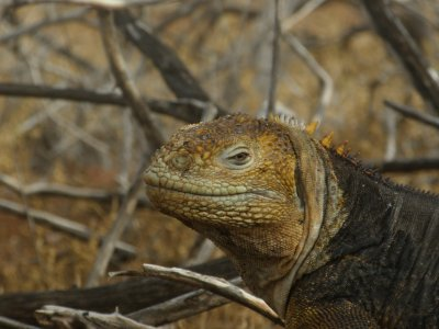 Land Lizard. In the Galapagos Islands