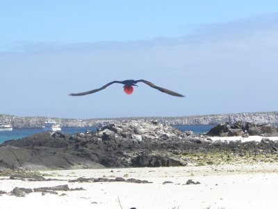 Frigate in flight. In the Galapagos Islands