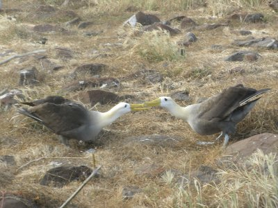 Albatross mating dance. On Espanola in the Galapagos Islands