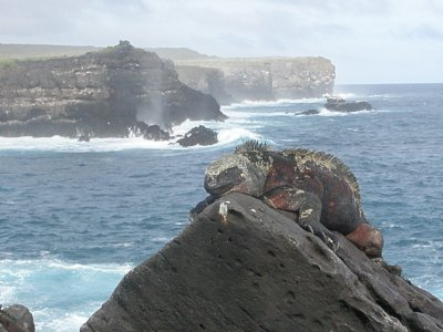 An Iguana on Espanola. In the Galapagos Islands