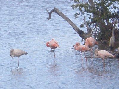 Flamingoes. Galapagos Islands
