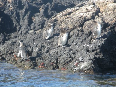 Galapagos penguins on the island of Isabella