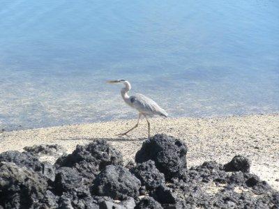 Heron. In the Galapagos Islands.
