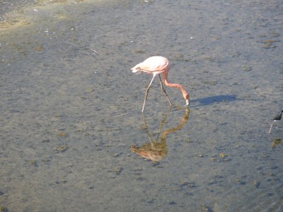 Flamingo on Isabella. In the Galapagos Islands