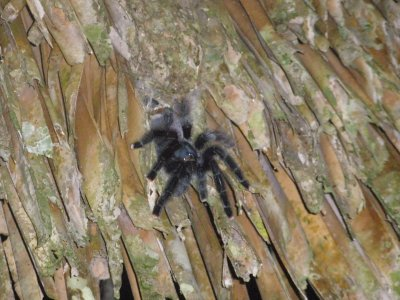 Tarantula in the roof of our hut. Manu National Park, The Amazon Rainforest.