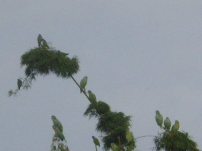 Parrots. Manu National Park, The Amazon Rainforest.