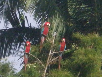 Macaws in Manu National Park, The Amazon Rainforest.