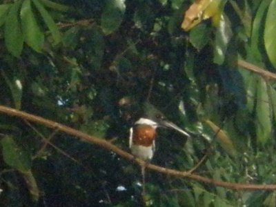 Kingfisher. Manu National Park, The Amazon Rainforest.