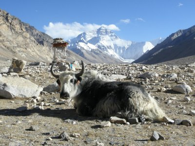 Yak and Everest.