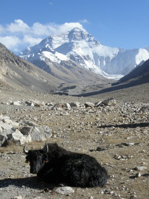 Yak and Everest