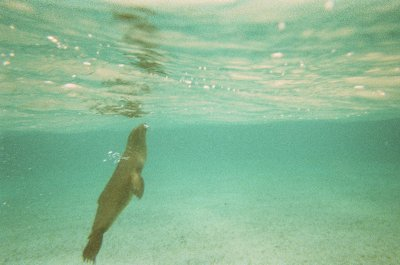 Sealion. Snorkelling in the Galapagos Islands