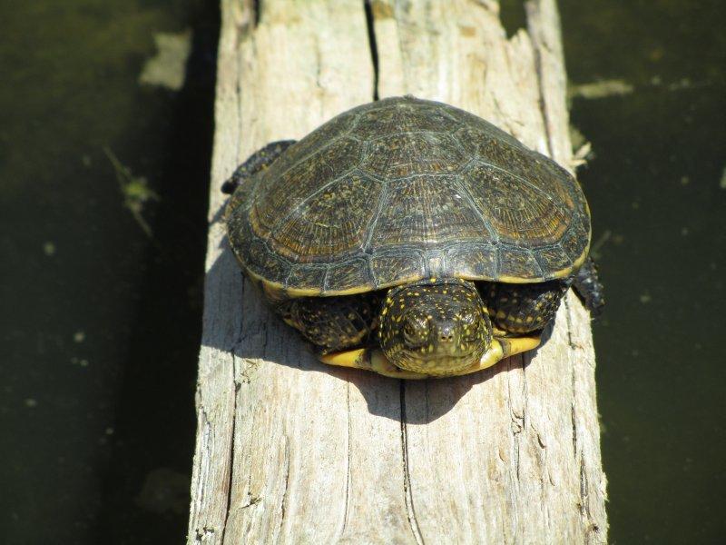 Tortoise in Butrint, Albania