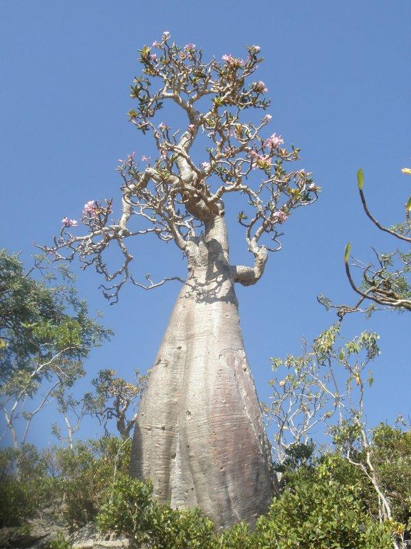 tree in Socotra