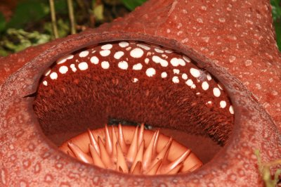 Close up of Rafflesia