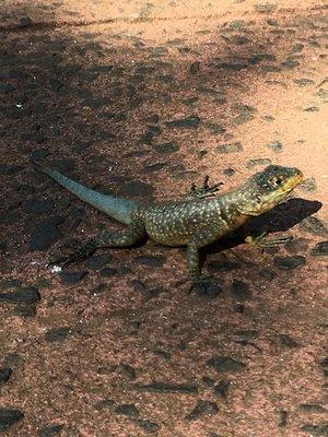 IMG_7590 lizard