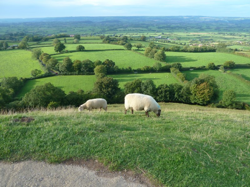 Glastonbury sheep