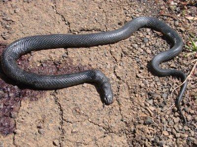 DS - Dead Snake