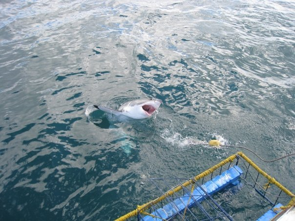 SharkDiving -Shark Alley