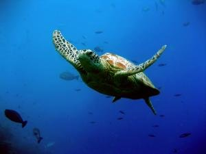 green_turtle.jpg