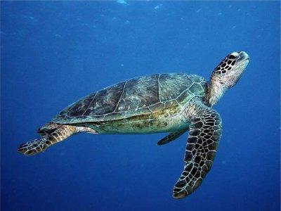green_turtle6.jpg