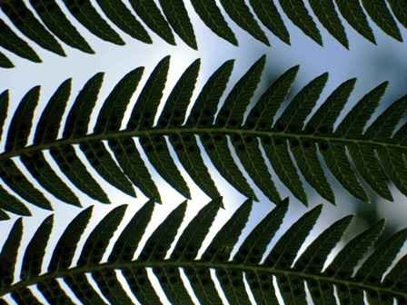 A White Fern from New Zealand