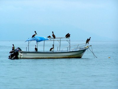 Pelicans take over Fishing Boat