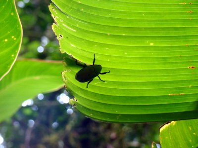 Beetle on banana leaf