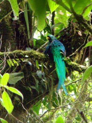Showoff Quetzal