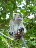 Long_Tailed_Macaque.jpg