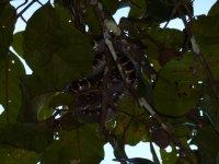Mangrove_Snake.jpg