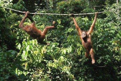 Sepilok Orangutan Rehabitilation Centre