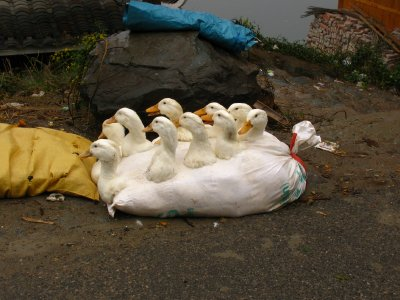 Ducks in a bag for easy transportation on the bus