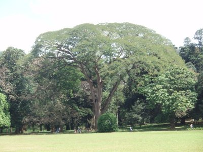 Iron/lion wood tree