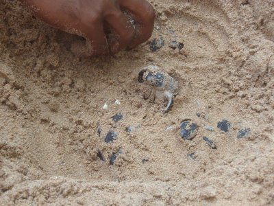 Green turtle hatchlings in the nest