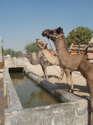 You can take a camel to water ......