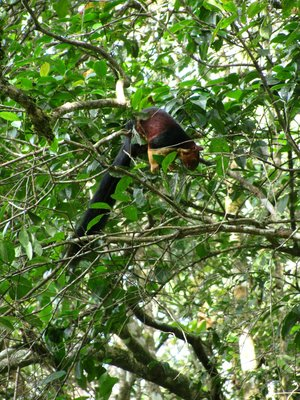 Malabar Giant Squirrel - photo taken by Malcolm